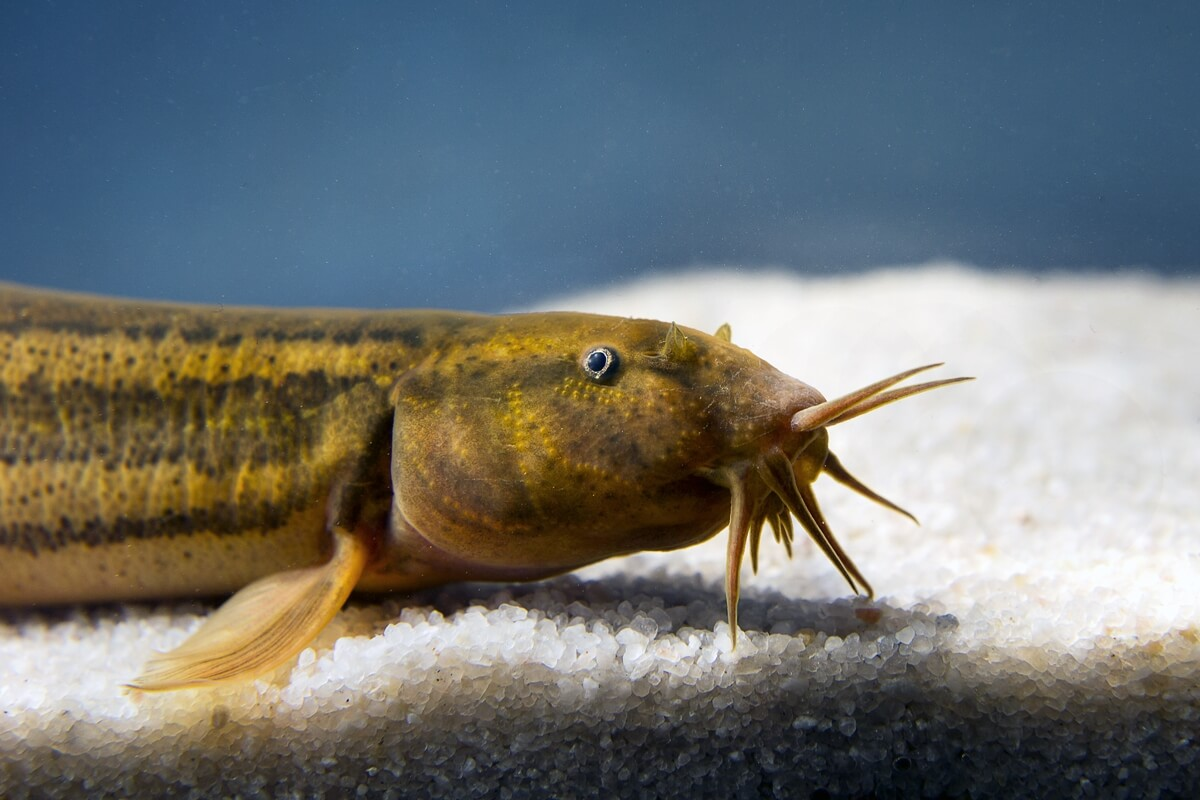 Weather loach