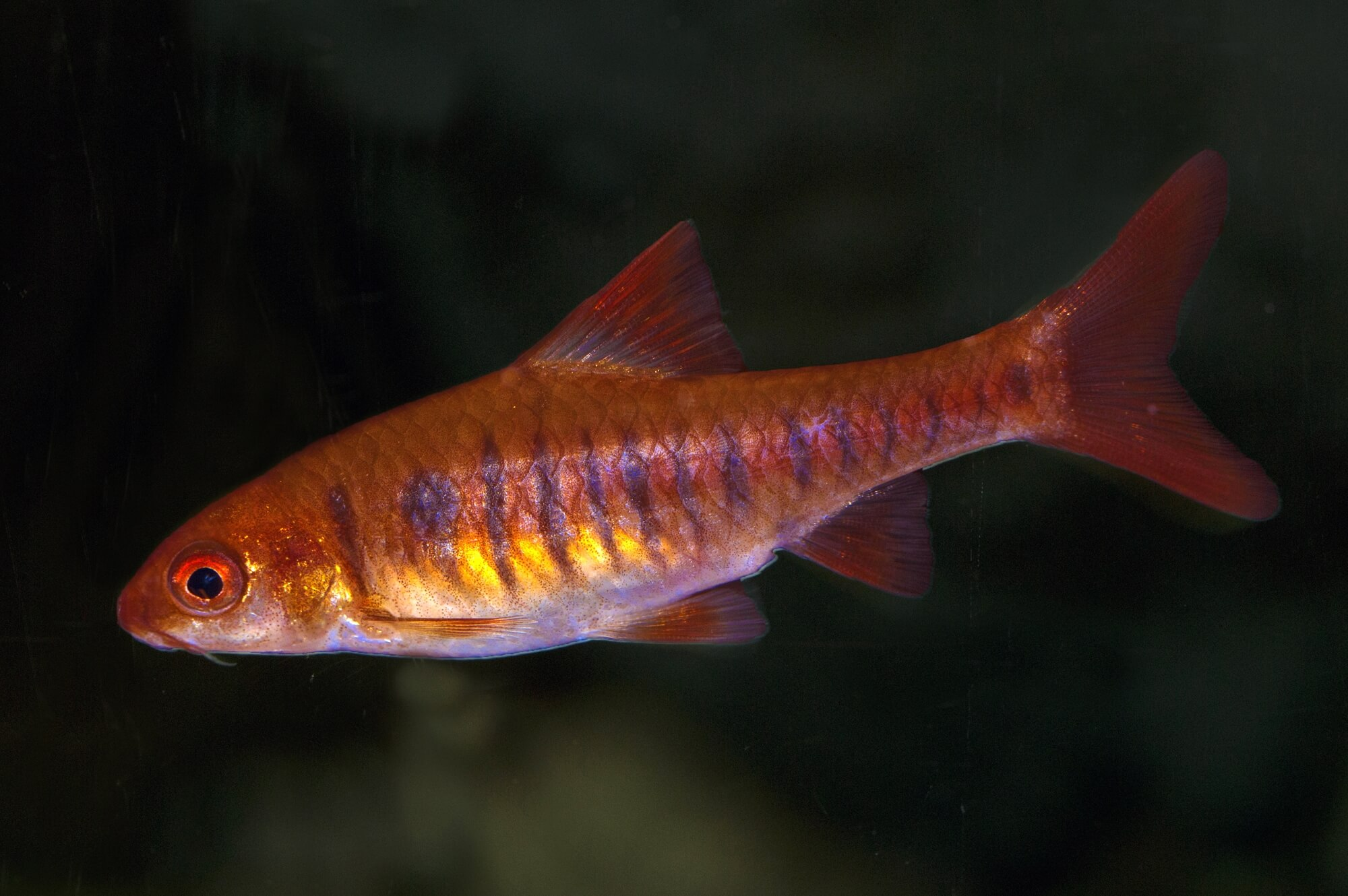 African Banded Barb