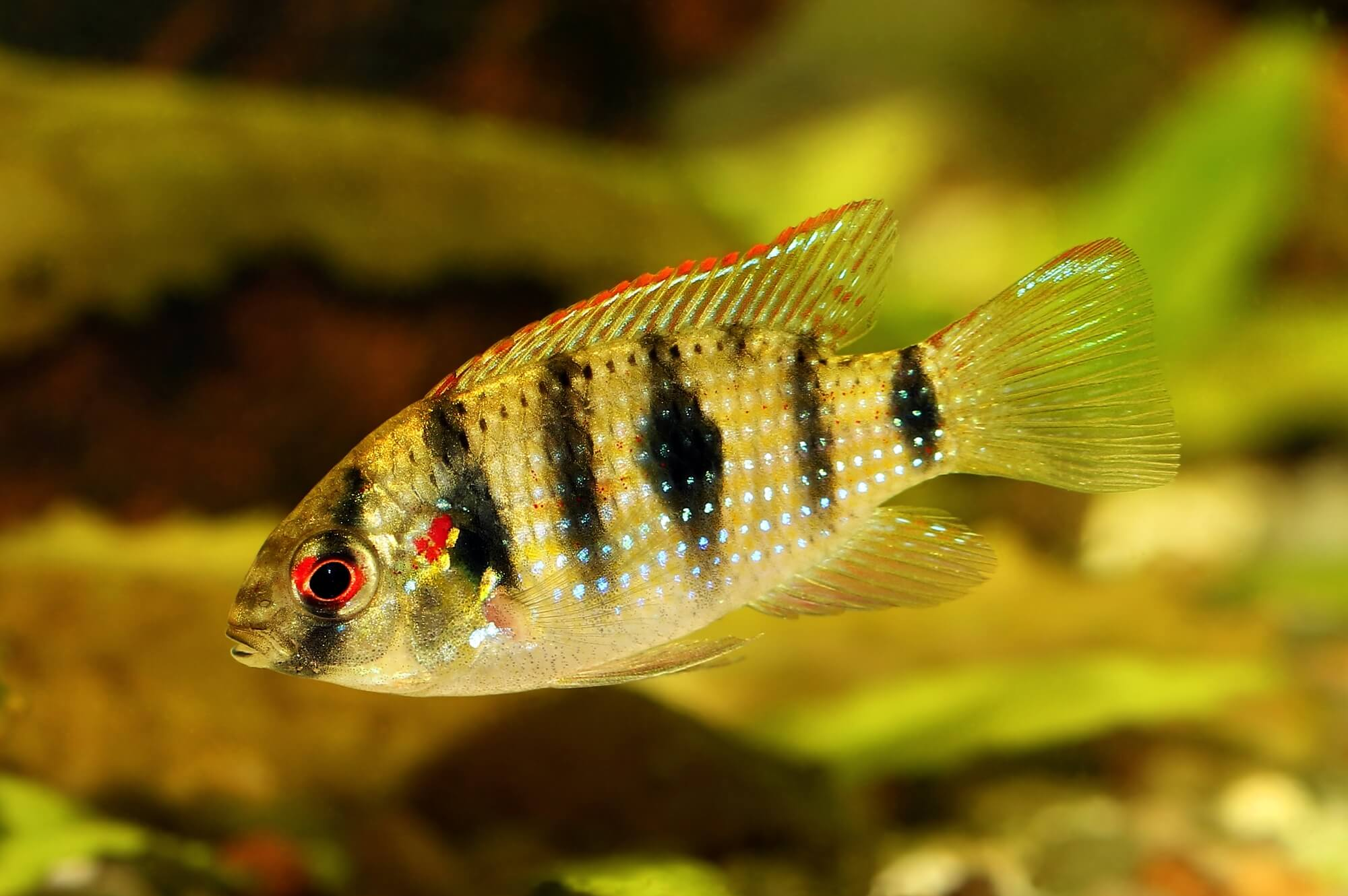African Butterfly Cichlid - Anomalochromis thomasi