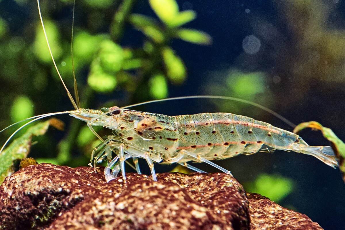 Amano Shrimp - Caridina multidentata