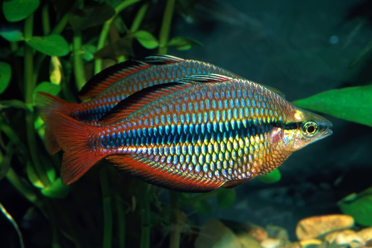 Banded rainbowfish