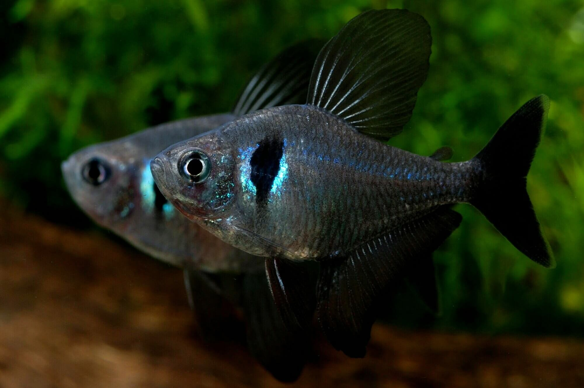 Black Phantom Tetras Sparring