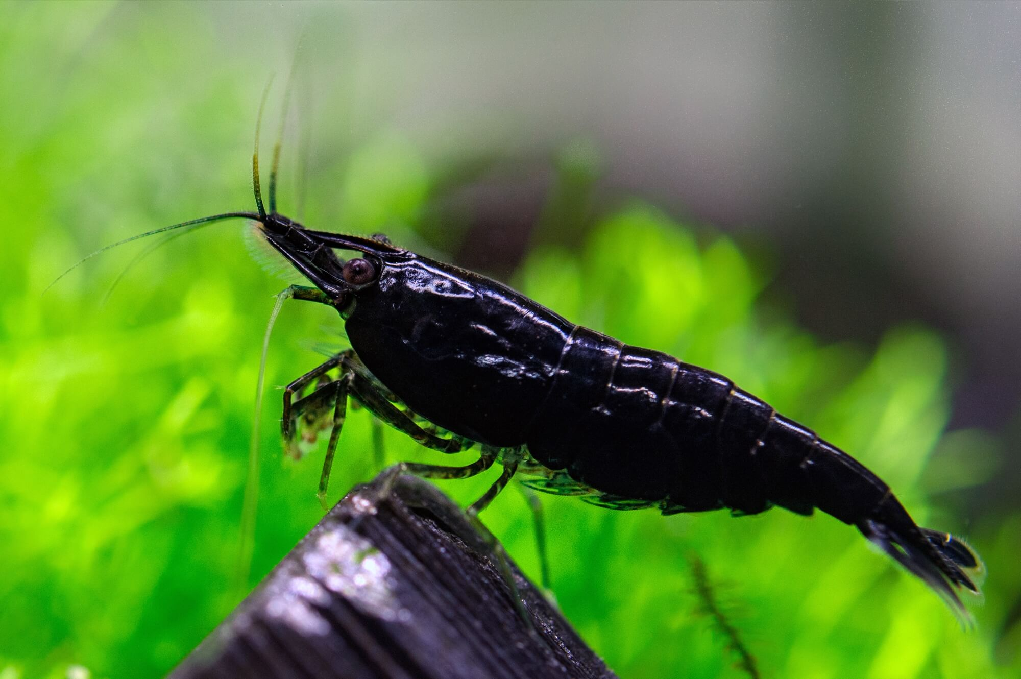 Black Rose Shrimp - Neocaridina Davidi