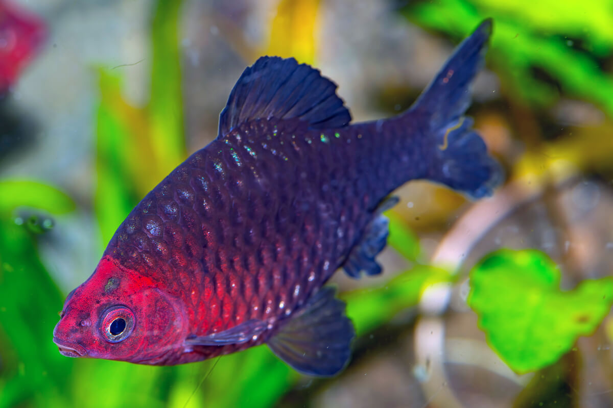 Black Ruby Barb
