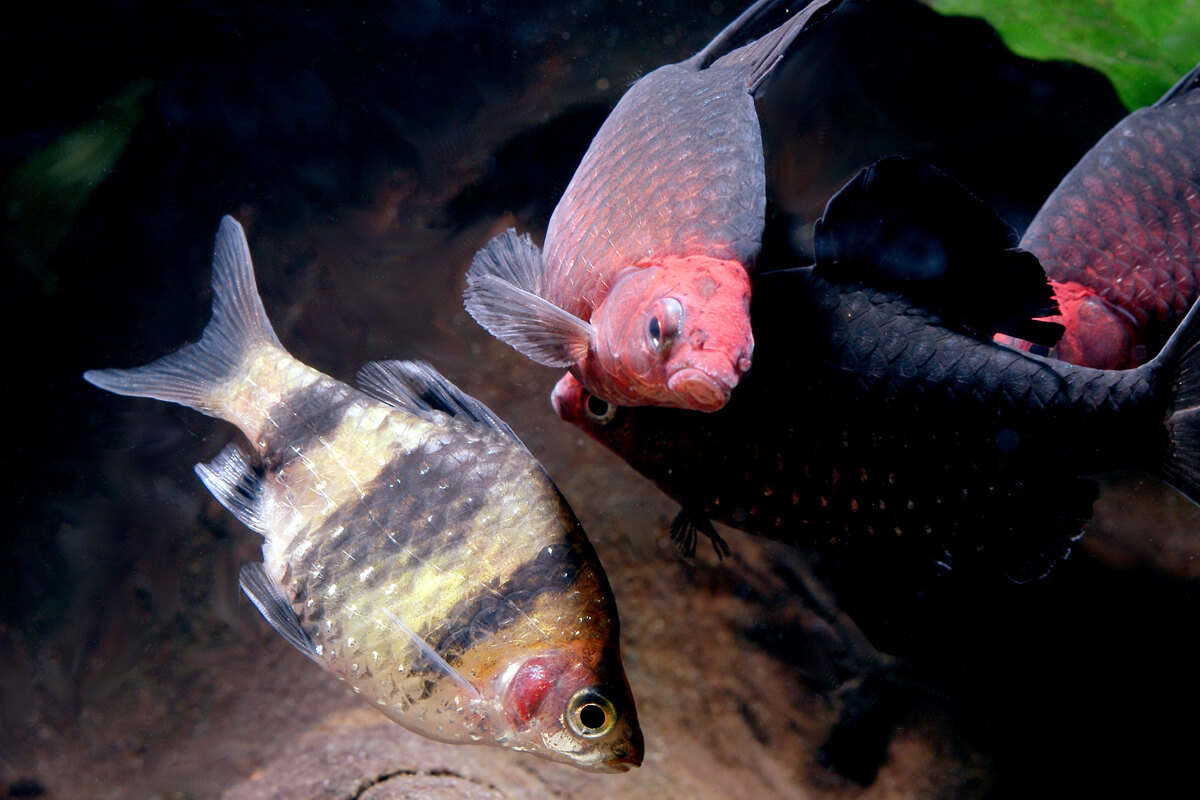 Black Ruby Barbs Spawning - Pethia nigrofasciata