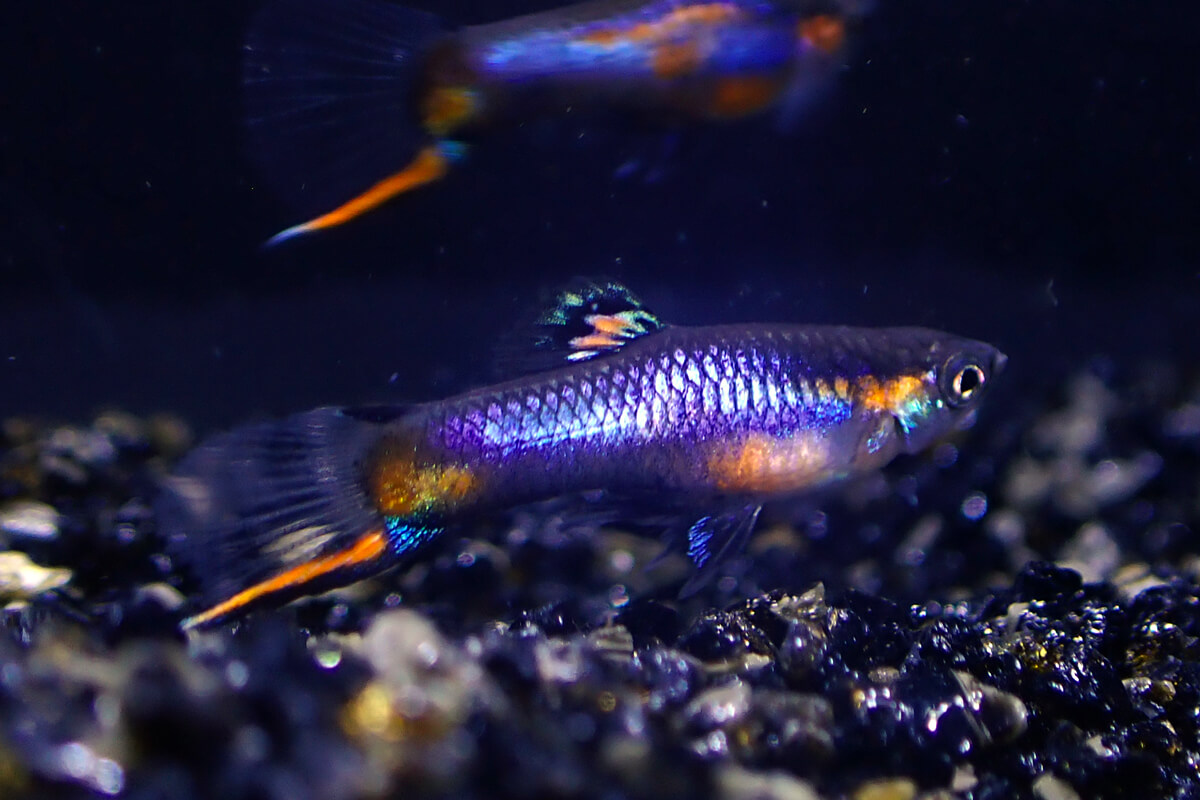 Blue Star Endlers