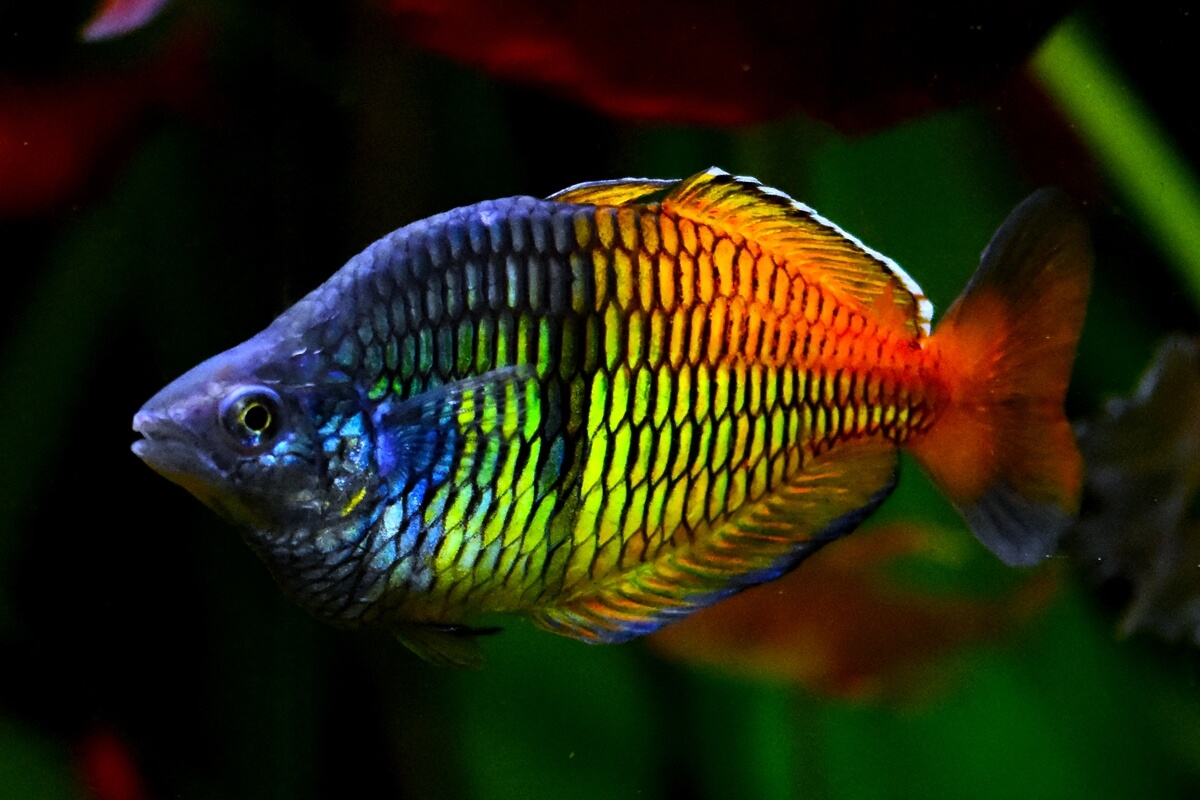 Boesemans Rainbowfish