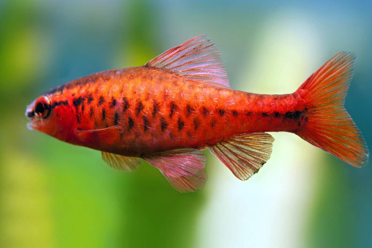 Male cherry Barb