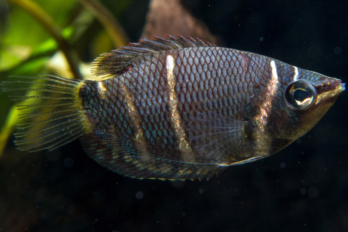 Chocolate Gourami