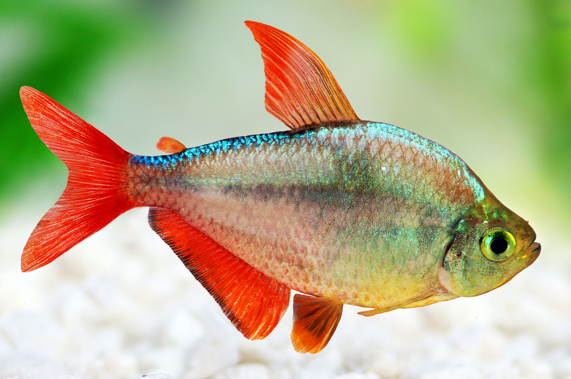 Colombian Redfin tetra