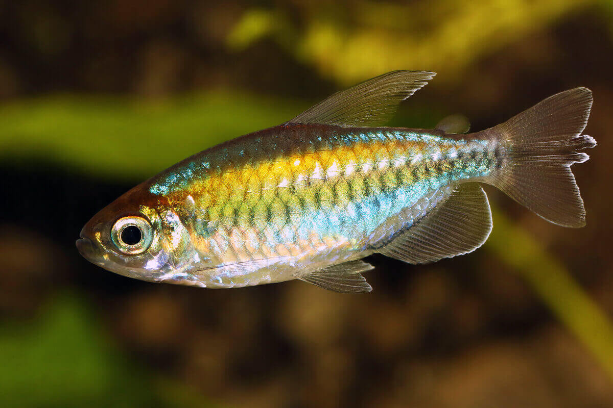 Female Congo Tetra - Phenacogrammus Interruptus