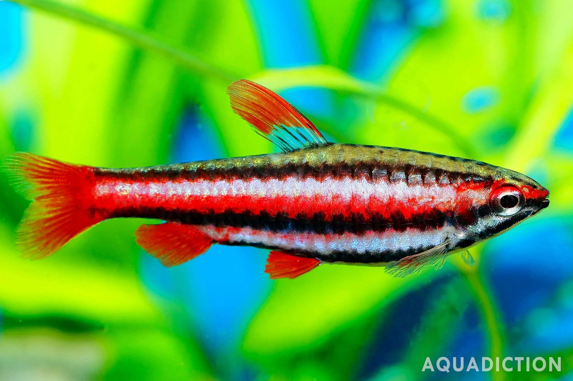 Female Coral Red Pencilfish