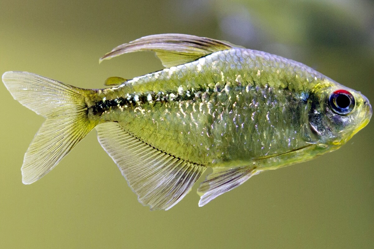 Diamond tetra - Moenkhausia pittieri