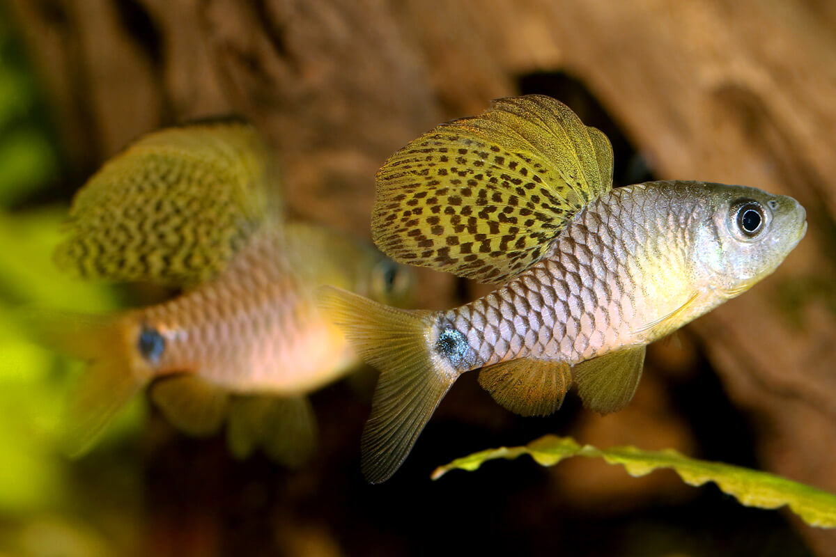 Drape Finned Barbs