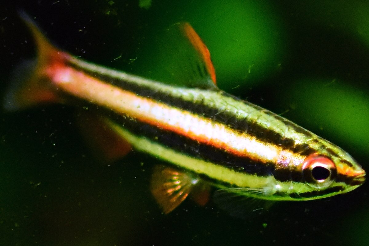 Male Dwarf Pencilfish - Nannostomus marginatus
