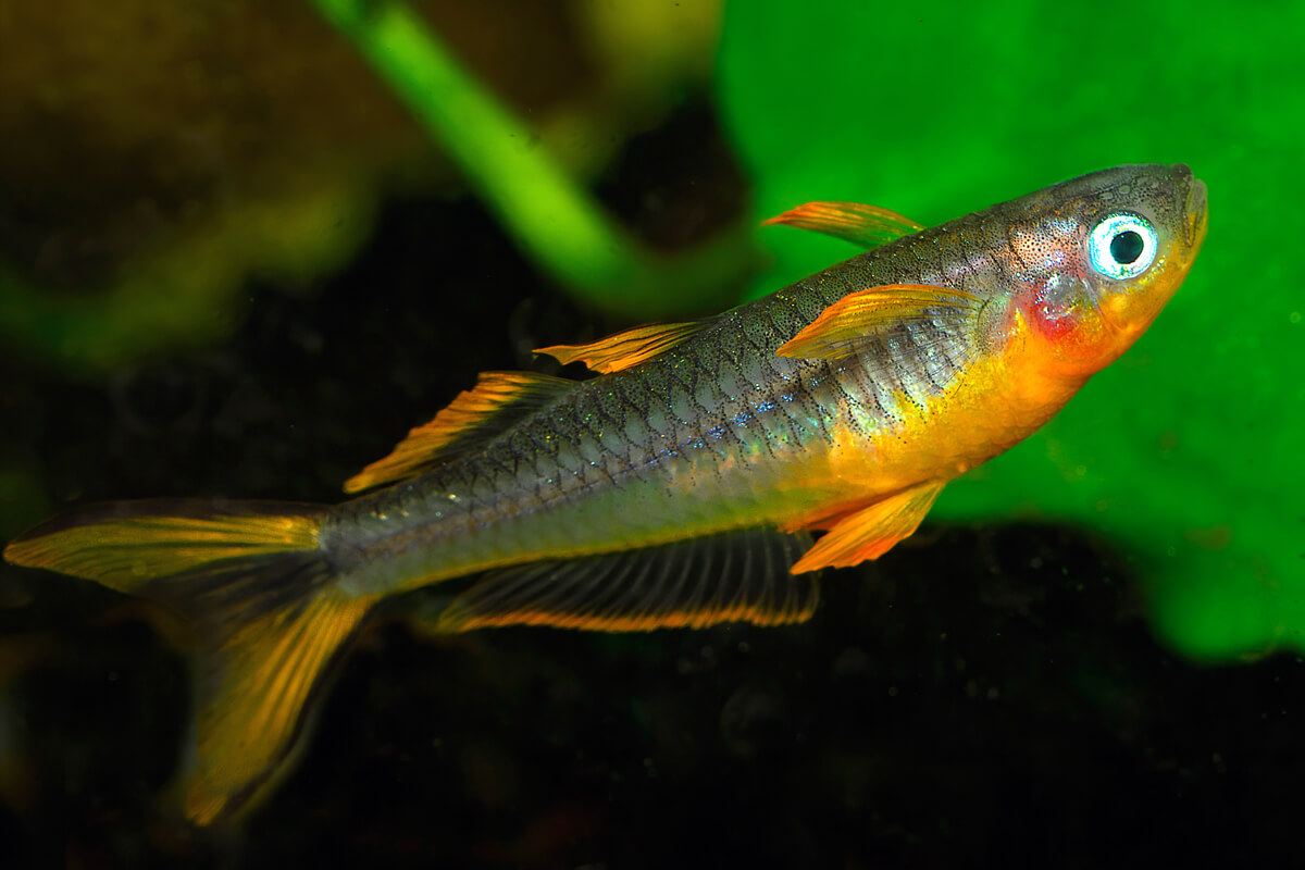 Forktail blue-eye Rainbow fish