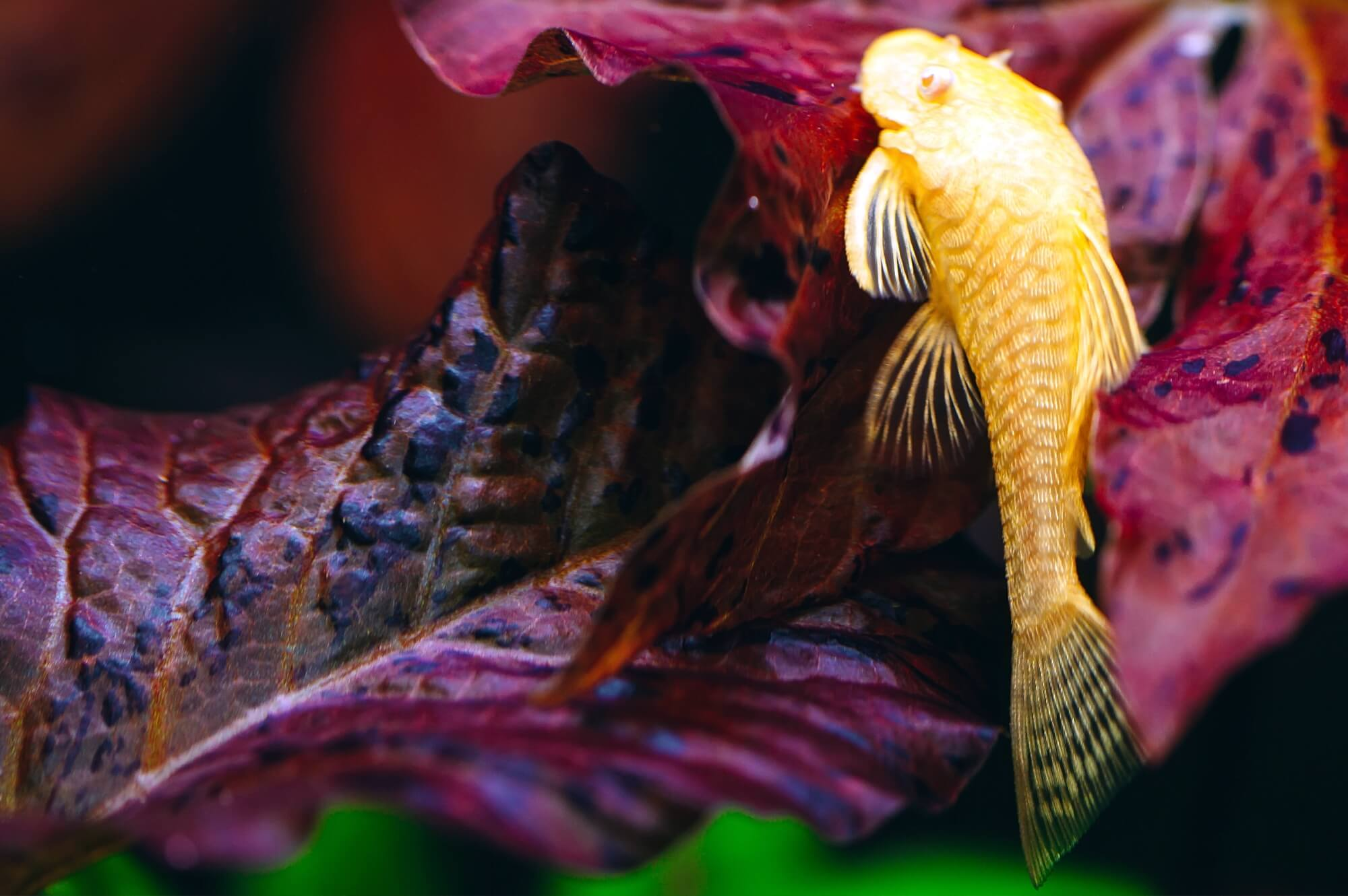 Golden Bristlenose Plecostomus - Ancistrus sp