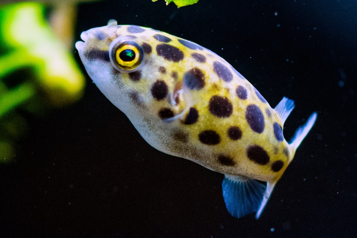 Green Spotted Pufferfish - Tetraodon Nigroviridis