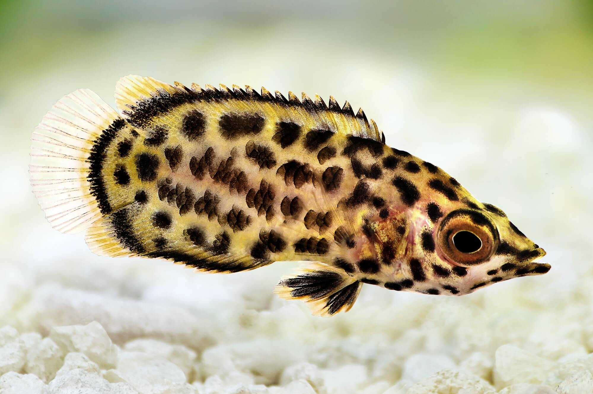 Leopard Bush Fish
