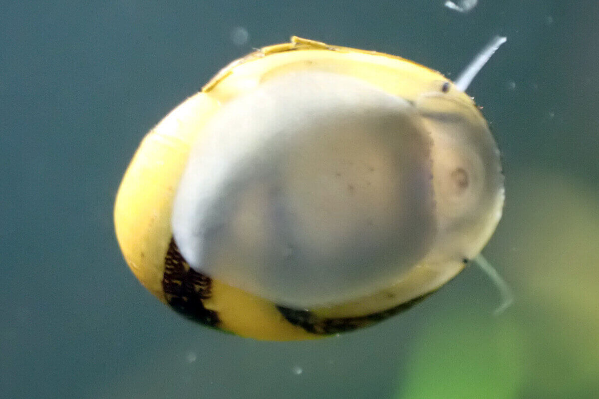 Nerite on Glass