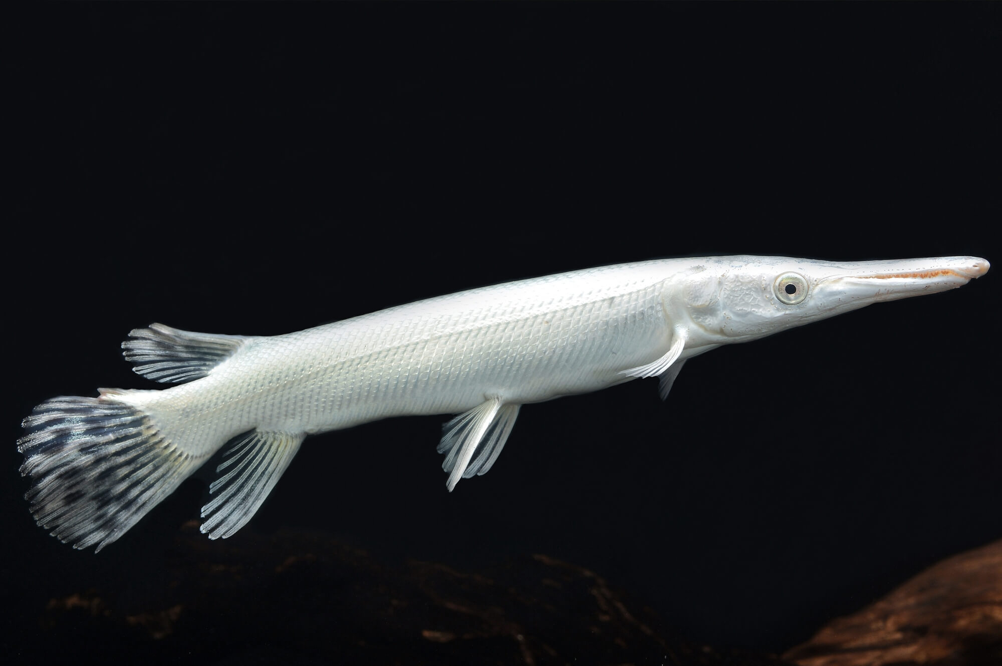 Platinum Alligator Gar