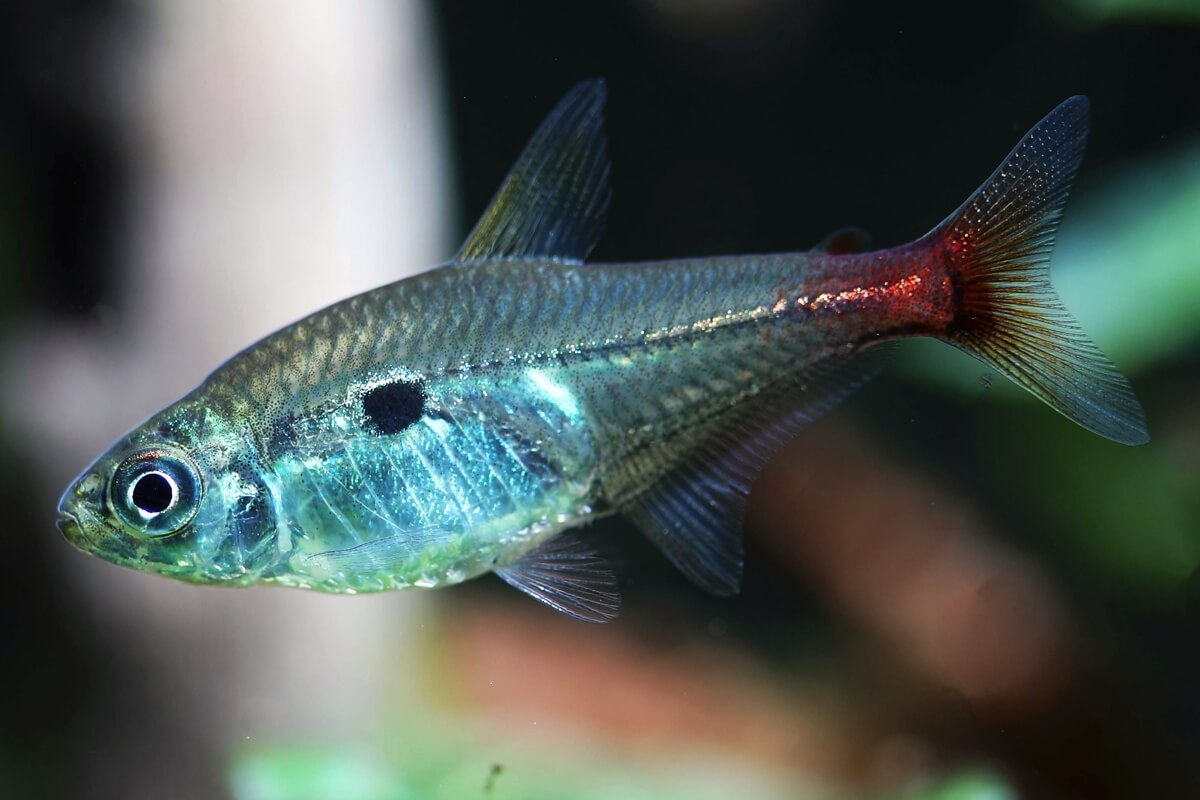 Red Base Tetra