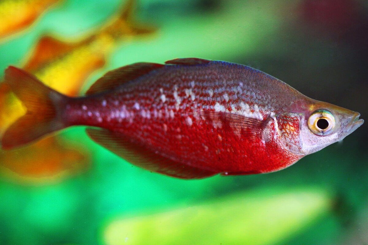 Red Rainbowfish - Glossolepis Incisus