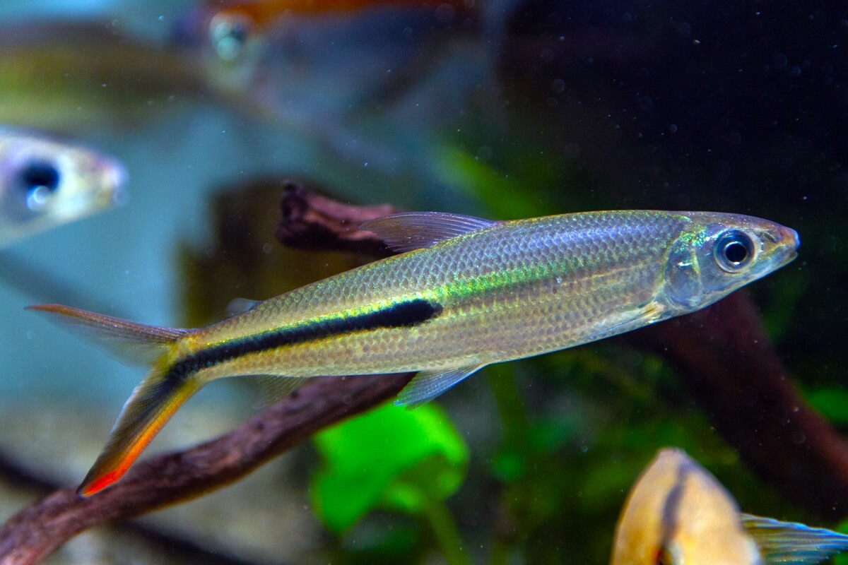 Red Tail Hemiodus Tetra
