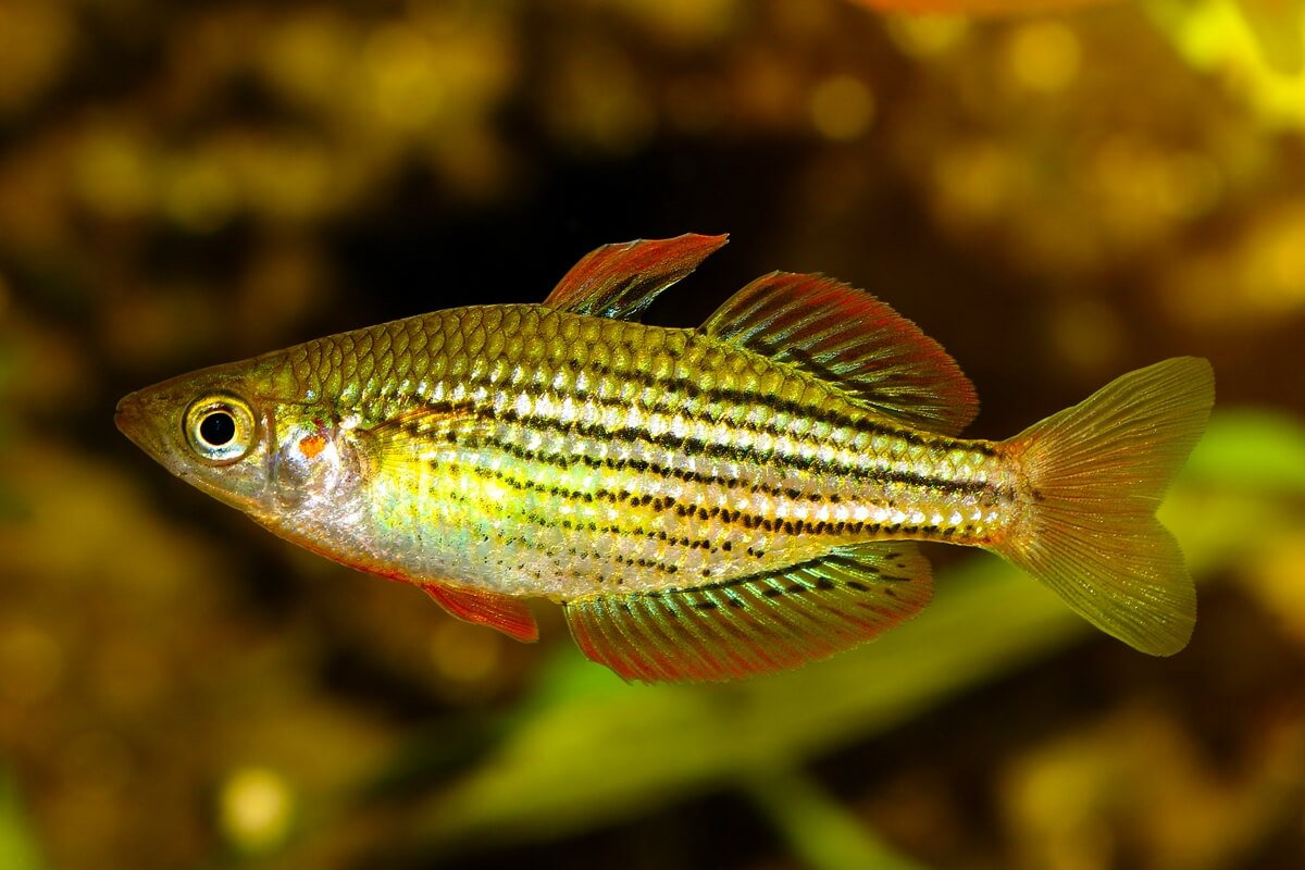 Redfin dwarf rainbowfish