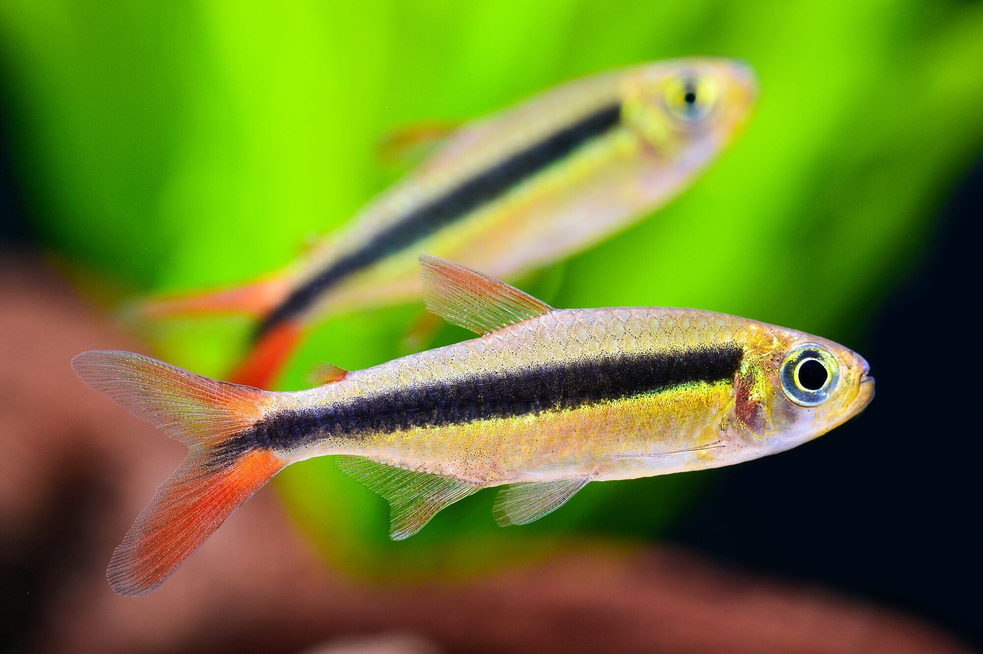 Redfin Penguin Tetra
