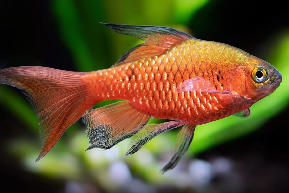 Long Finned Rosy barb