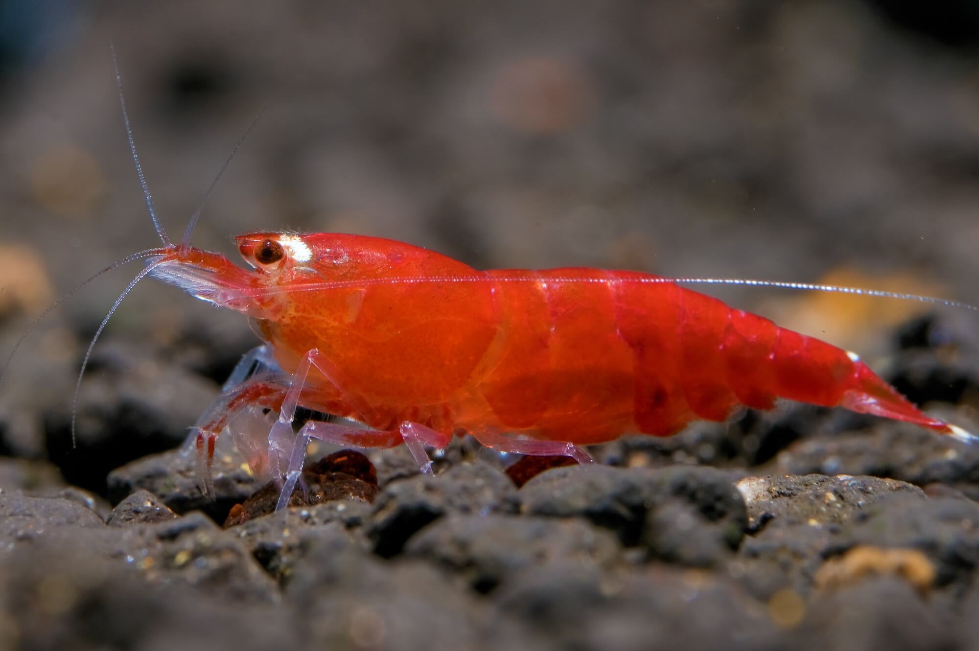 Super Crystal Red Shrimp - Caridina Cantonensis