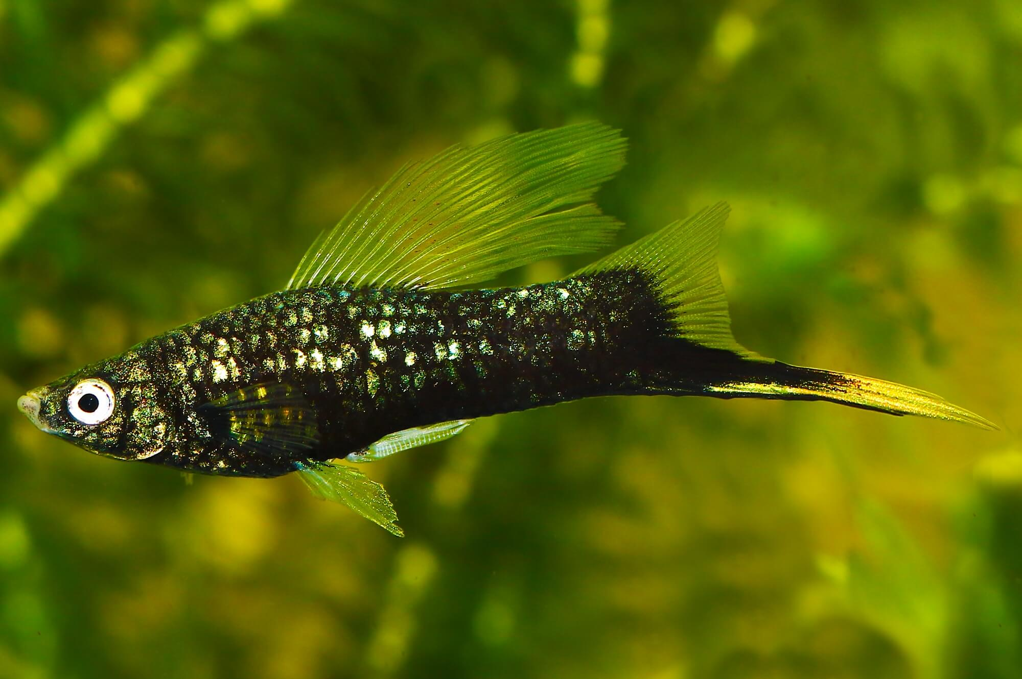 Black Swordtail