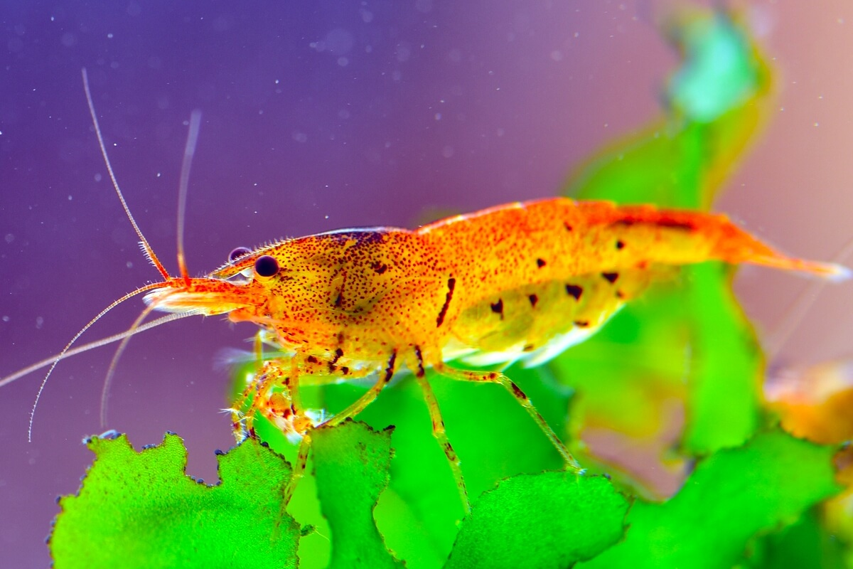 Tangerine Tiger shrimp