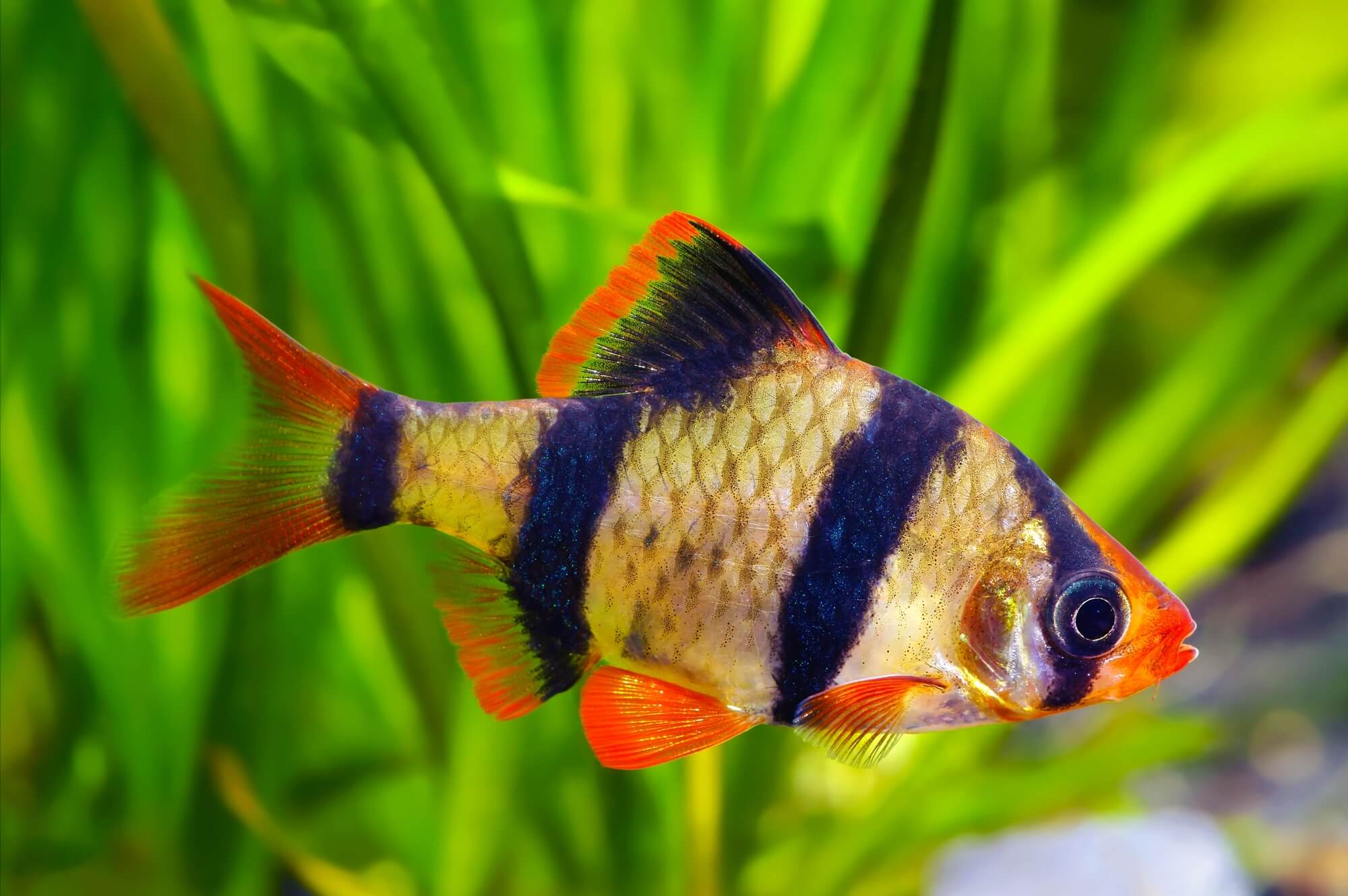 Male Tiger Barb
